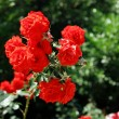 Roses In Park — Stock Photo