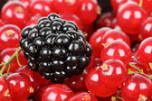 Blackberry and red currants — Stock Photo