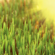 Green grass and sun — Stockfoto