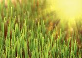 Green grass and sun — Stock Photo