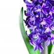 Blue hyacinth — Stock Photo