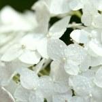 Постер, плакат: White hydrangea