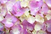 Hortênsia rosa — Fotografia Stock