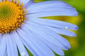Daisy close-up. — Stock Photo