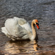 Beautiful white swan on the lake — Stock Photo
