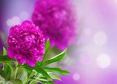 Peony on a violet background — Stock Photo
