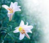 Two white lily — Stock Photo