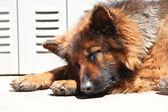German shepard sleeping — Stock Photo