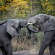 Elephants fight — Foto de Stock
