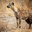 Spotted hyena — Stock Photo #11810365