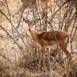 Young male impala - Zdjcie stockowe