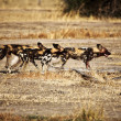 Lycaon pictus african wild dogs — Stock Photo