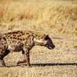 Spotted hyena — Stock Photo #11810612