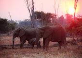 Elephant at sunset — Photo