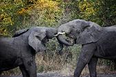 Combat d'éléphants — Photo