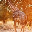 Giraffe at sunset — Stock Photo