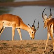 Stock Photo: Male impala