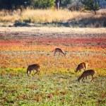 Impala in wild — Stock Photo #11831882