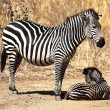 Zebra mother and baby - Stock Photo