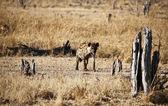 Hyena skvrnitá — Stock fotografie