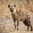 Stock Photo: Spotted hyena