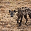 Spotted hyena — Stock Photo #11853766
