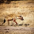 Spotted hyena — Stock Photo #11853850