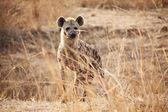 Spotted hyena — Photo