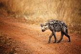 Ver hiena detrás — Foto de Stock