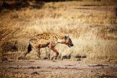 Spotted hyena — Stock Photo