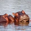 Sleeping hippo - Foto Stock