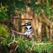 Pied Kingfisher - Stock Photo
