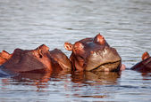 Sleeping hippo — Stock Photo