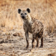 Spotted hyena — Stock Photo #11940691
