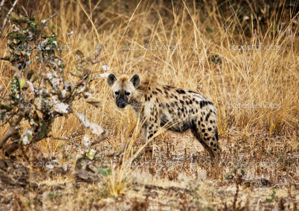 Spotted hyena in luangwa national park zambia  Stock Photo #11940676