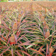 Large Field with Pineapples — Stock Photo