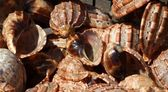 Large Gastropod Sea Shells — Stock Photo