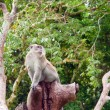 Macaque monkey — 图库照片