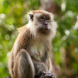 Macaque monkey - Foto Stock