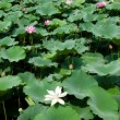 Water lillies — Stock Photo #11564330