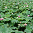 Water lillies — Stock Photo #11685874