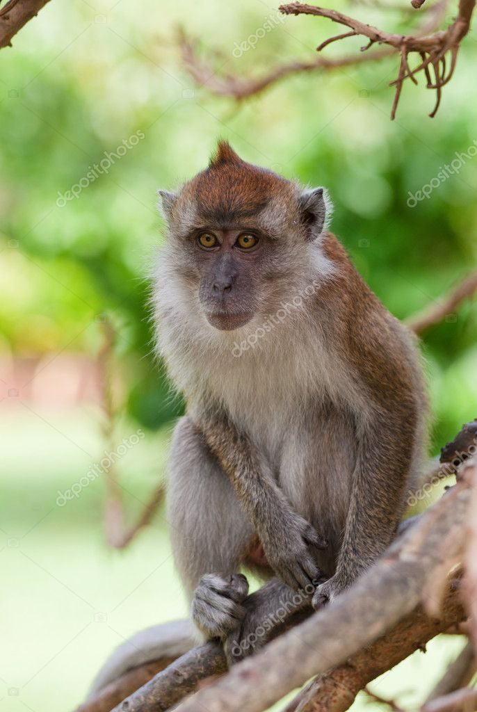 A small macaque monkey in penang malaysia  Stockfoto #11685319
