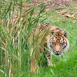 Stock Photo: Sumatrtiger