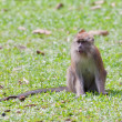 Macaque monkey — Foto Stock