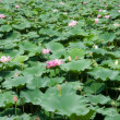 Water lillies — Stock Photo #11858750