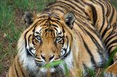 Sumatran tiger — Stock Photo