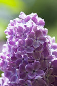 Lilac. — Zdjęcie stockowe