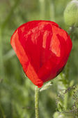 Poppy. — Stock Photo