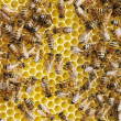 Stock Photo: Bees on honeycombs.