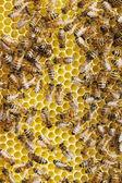 Bienen auf der wabe. — Stockfoto